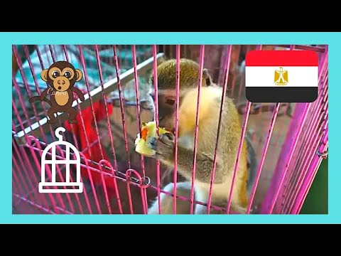 EGYPT: Unfortunate BABY MONKEY for sale in CAIRO'S markets (souqs)