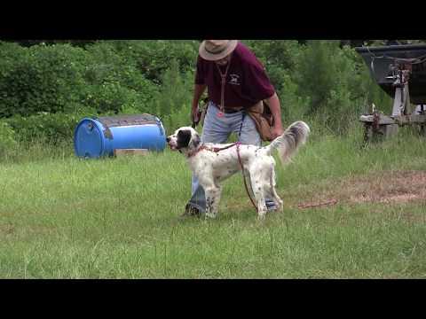Shane (English Setter) - Positive Gun Dog Training  7-31-18