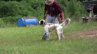 Shane is a 13 Month Old English Setter. In this Video, he is evalua...