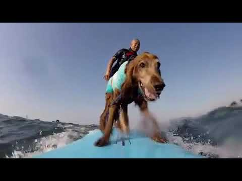 Pablo - Dog Surfs With Owner