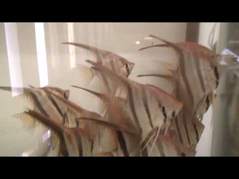 Special Angel Fish