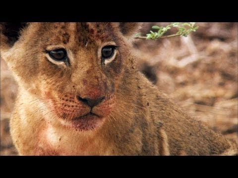 Two Lion Cubs Get a Lesson in Sharing
