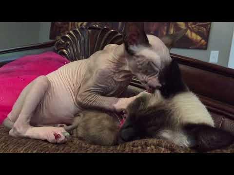 Sphynx Cat licking Siamese Cat