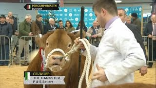 Pencampwriaeth Bustych | Steer Championship