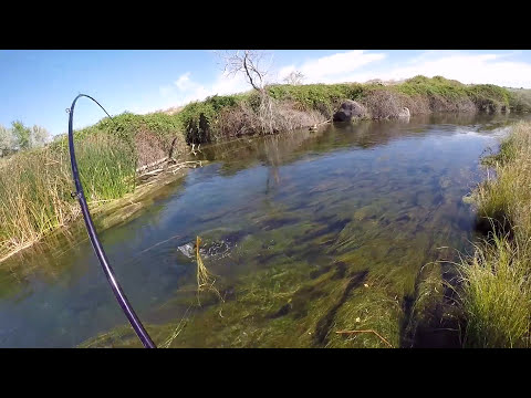 Sight Fishing for Sturgeon in a Creek!
