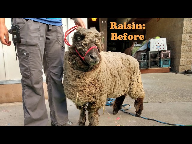 Sheep shearing: quick before and after shots | Children's Fairyland