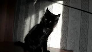 ЛИРИКУМ Нуар Куэссович 3,5 мес мейн-кун котенок черный с белым медальоном