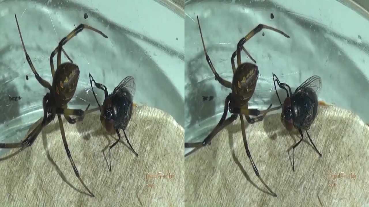 Araña viuda Negra 3D - YouTube