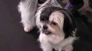 Cute Rescue Maltese Shih Tzu Puppy Lil Miss Has A Question!