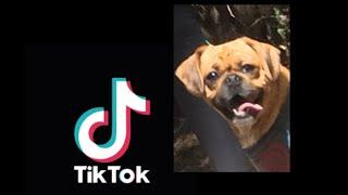 WAP  feat Maxi #Pugalier #Dog #TikTok #WAP