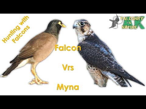 Male Shaheen Falcon Hunting Mynah, Chasing Doves & Lapwings