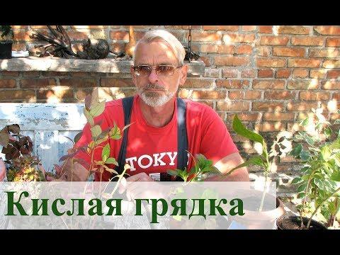 Вопрос: Филантус Кислый, что за растение?