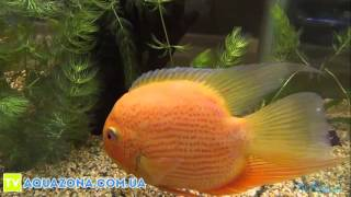 Северум золотой - красивые рыбки в аквариум купить(, 2014-03-06T05:49:34.000Z)