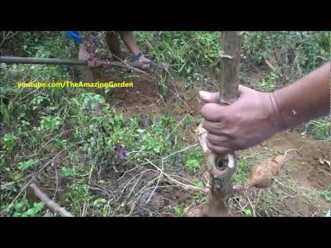 Tapioca ( Cassava Root - Mandioca ) harvesting