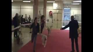 Exposition Canine Bourges 16 Février 2014 Golden Retriever Houston De La Belle Lady