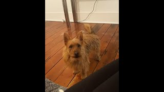 AUSTRALIAN TERRIER LOVEABLE MOMENTS