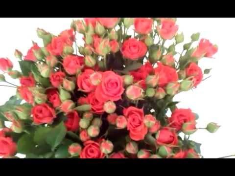 Наш питомник роз Рязанова - YouTube