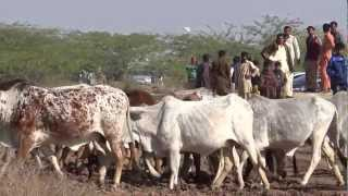 Dairy Cattle of Cholistan TDPC 8th Cholistan Jeep Rally 15-17 Feb 2013 Cholistan Bahwalpur Pakistan
