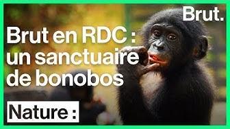 En RDC, cette réserve est un sanctuaire pour les bonobos