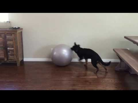 Silly German Shepherd puppy tries to chase and catch the fitness ball