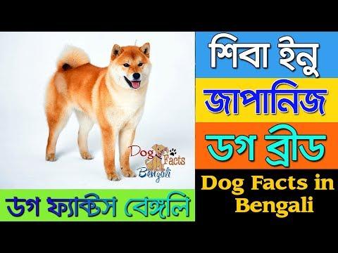Shiba Inu Dog Dog facts in Bengali | Japanese Dog Breed | Dog Facts Bengali