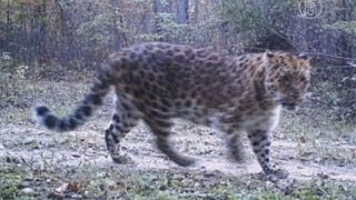 Леопардов сняли на видео китайские пограничники (новости)