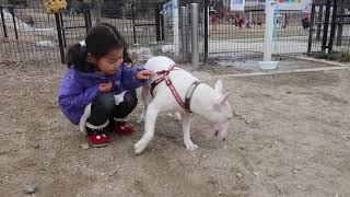 Mブルテリア:愛犬ハチ(♂、2才5か月) 2019年1月12日撮影.