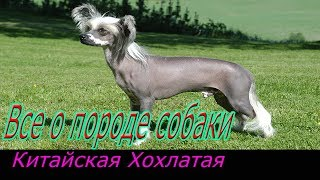 Китайская хохлатая собака! Полное описание о породе!