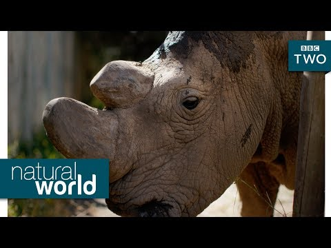The rhino that's one of a kind - Natural World: Sudan - The Last of the Rhinos | Preview - BBC Two