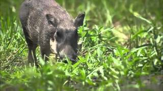 Video Wildlife Wonder - Warthogs download MP3, 3GP, MP4, WEBM, AVI, FLV Juni 2018