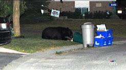 Sudbury bear population explosion: 110 complaints in a week