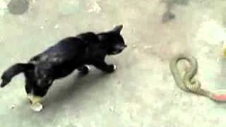 Cat VS Snake - Cat Kills the Snake, Cat fight with  the Snake