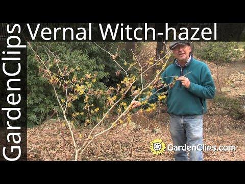 Vernal Witch Hazel Hamamelis Vernalis Growing Winter And