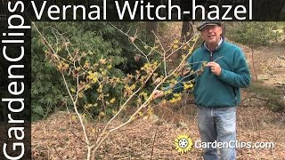 Vernal Witch-hazel - Hamamelis vernalis - How to grow winter and spring blooming Witch hazel