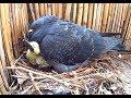 Des bébés pigeons sur mon balcon ! Sony Action Cam