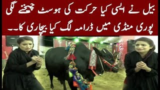 embarrassing moment for host in cow mandi   must watch