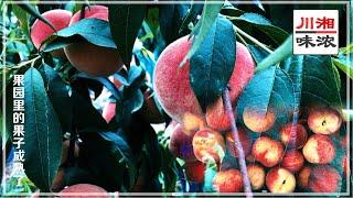 今年雨水不多,比往年要旱,200 多亩果园收成不是特别理想,和家人们一起前往享受下采摘的乐趣,走进果园空气中都闻着蜜桃的香味,满地结满的西瓜看着着实让人 ...