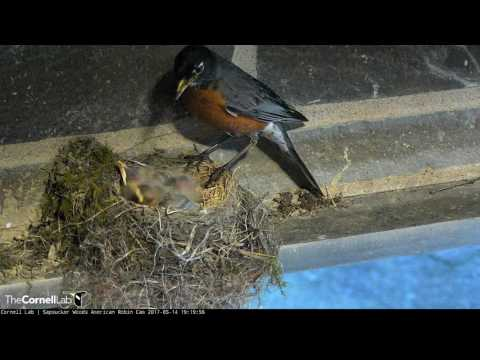 Male Feeds Nestlings, Removes Fecal Sacs; May 14, 2017 American Robin Cam