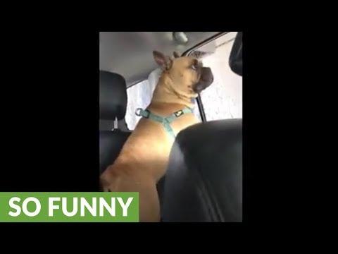 French Bulldog had mind blown during car wash