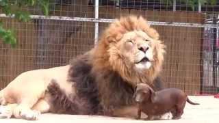 лев и такса - лучшие друзья !
