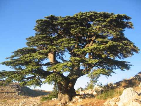As a palm tree and a cedar in Lebanon