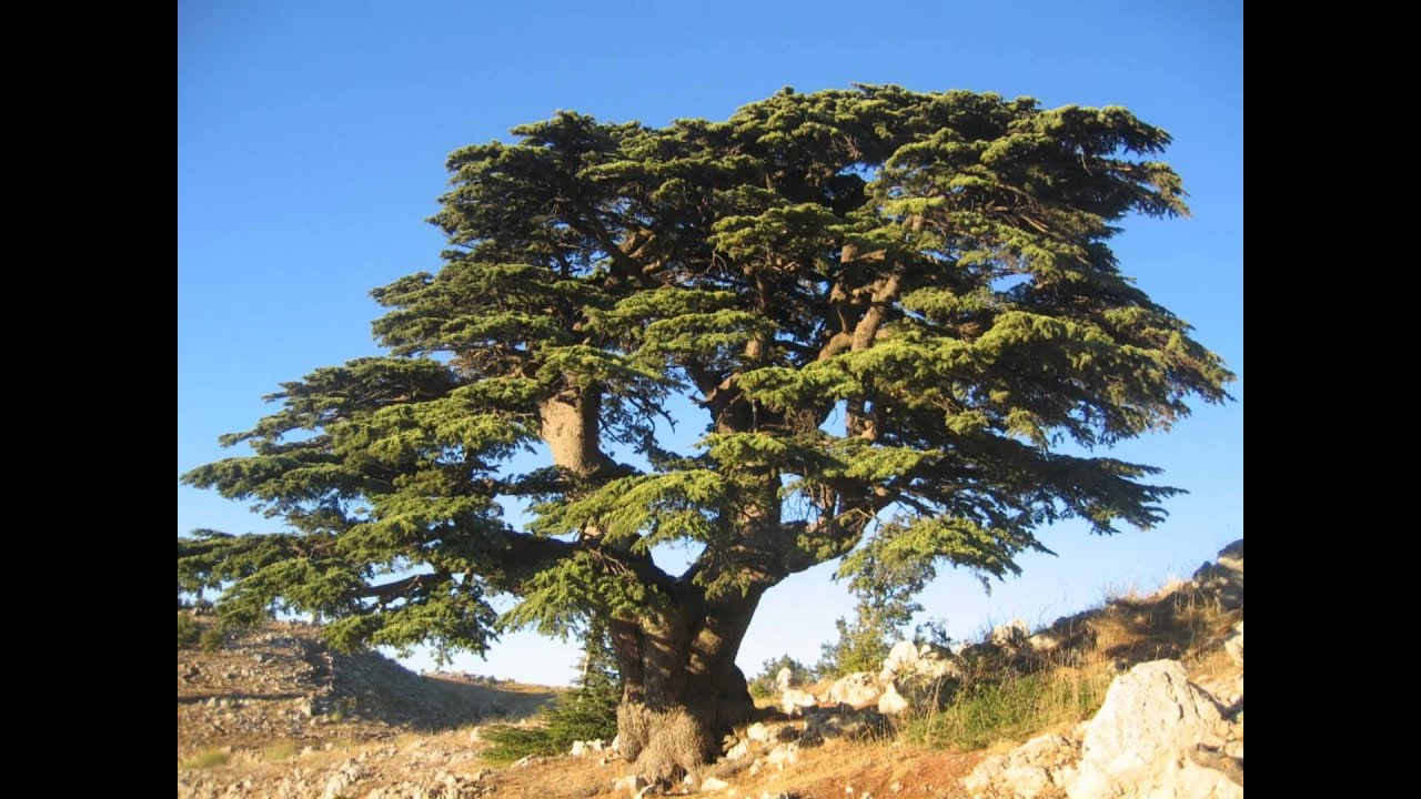 As a palm tree and a cedar in lebanon youtube buycottarizona Images