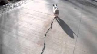 Corgi English Bulldog