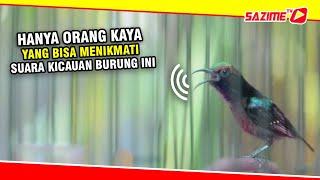 HD Audio Hanya Sultan Yang Bisa Menikmati Suara Kicauan Burung Paling Merdu