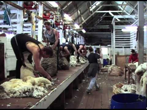 Falkland Islands Sheep Shearing