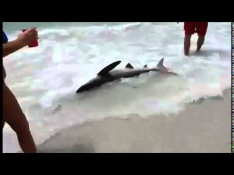 Shark in St Petersburg beach Tampa Florida, Tiburon.