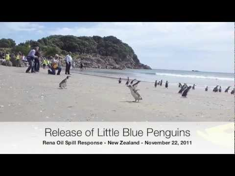 Little Blue Penguins Released in New Zealand