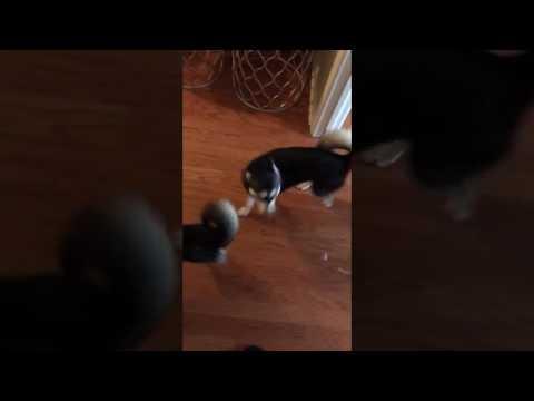 Cute Mini Wolf Dog Pack Battle Cry Howling Swarm- Alaskan Klee Kai