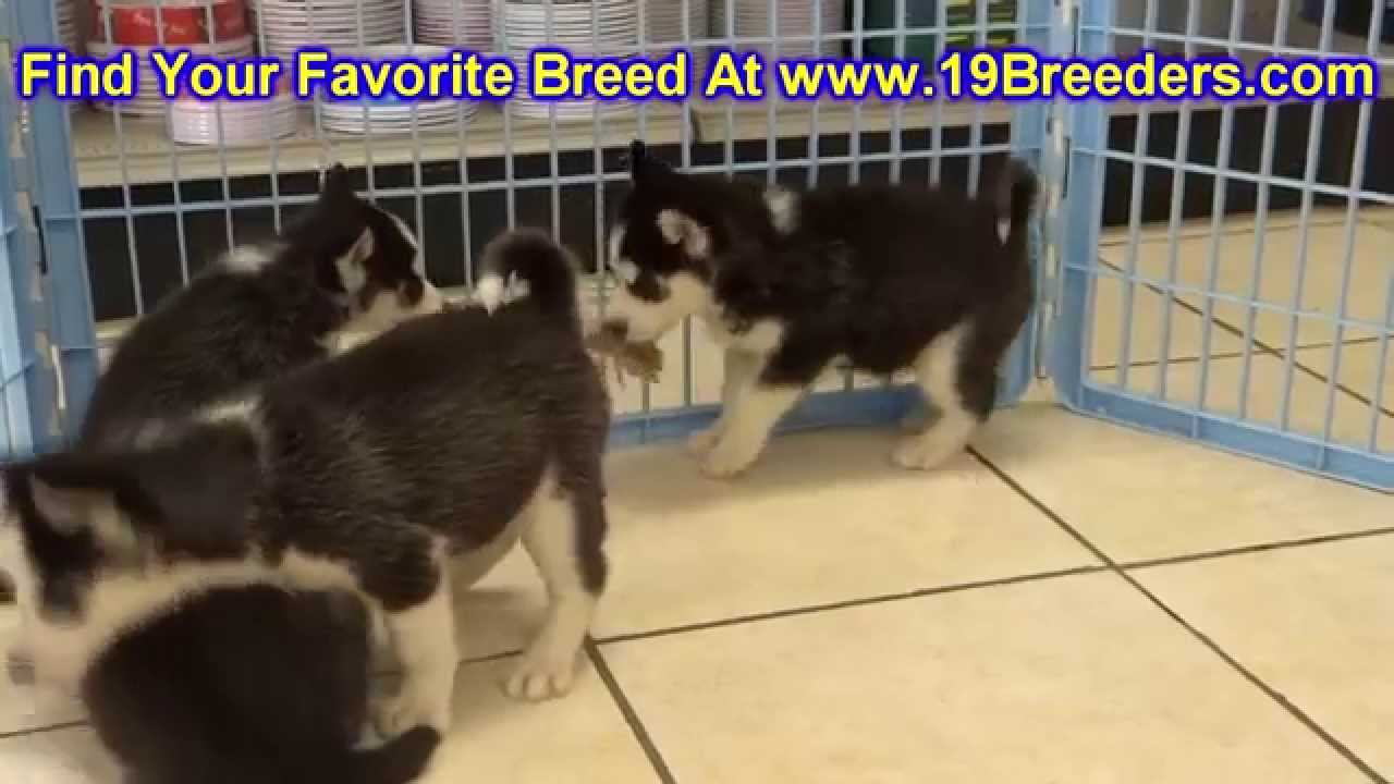 Siberian Husky Puppies For Sale In Des Moines Iowa Ia