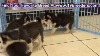 Siberian Husky, Puppies, For, Sale, In, Des Moines, Iowa, Ia, Bettendorf, Marion, Cedar Falls, Urban